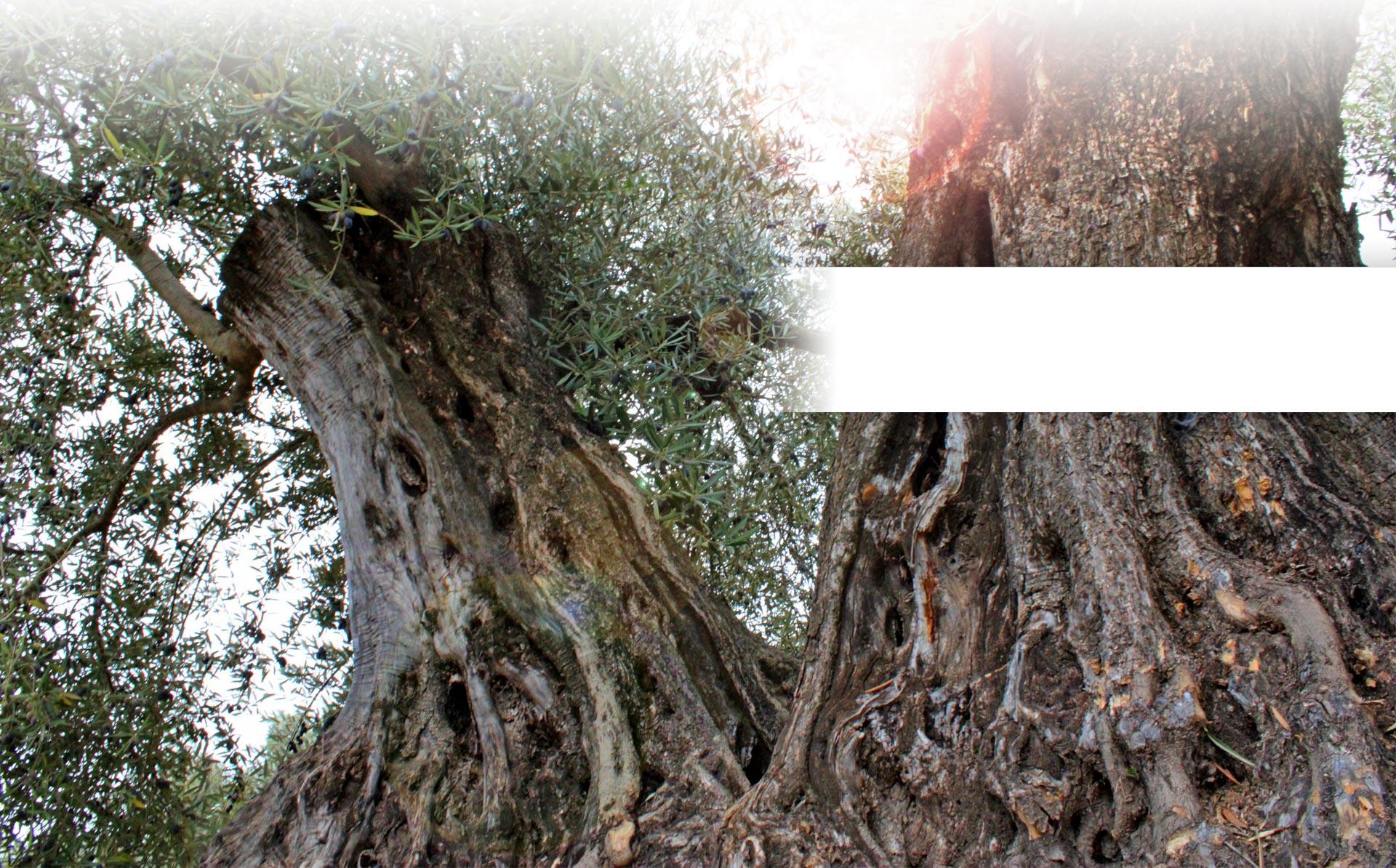 slider olivo